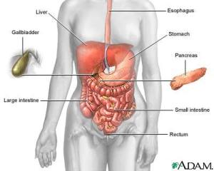 our digestive system, courtesy of A.D.A.M